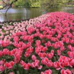 Parco dei fiori Keukenhof in Olanda meraviglioso